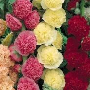 Hollyhock Summer Carnival Mix (Alcea rosea) 5 - 250 grams
